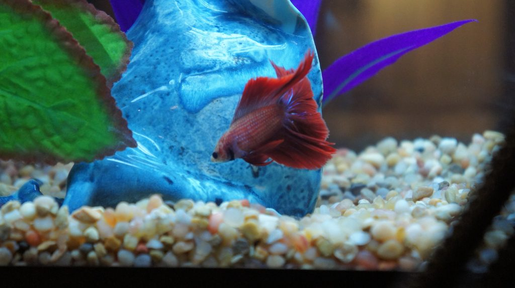 6 best betta fish tanks fish supply guide for List of fish that can live with bettas