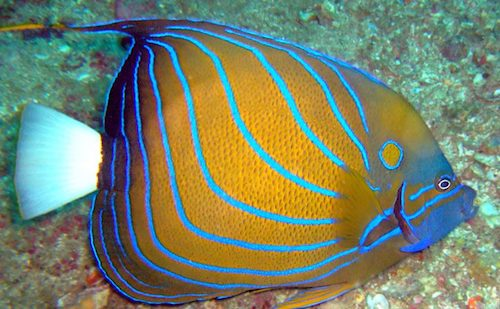blue ring angelfish 1