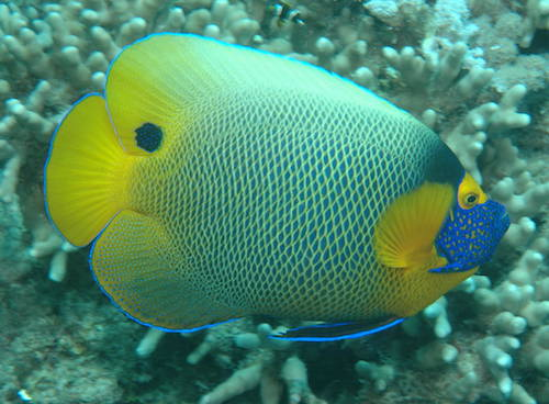 blueface angelfish 1