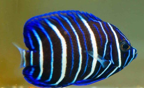 blueface angelfish juvenile
