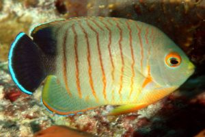 eibli angelfish