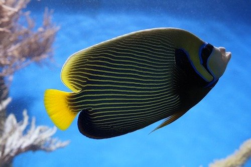 emperor angelfish 2