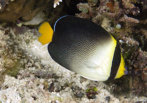 singapore angelfish 1