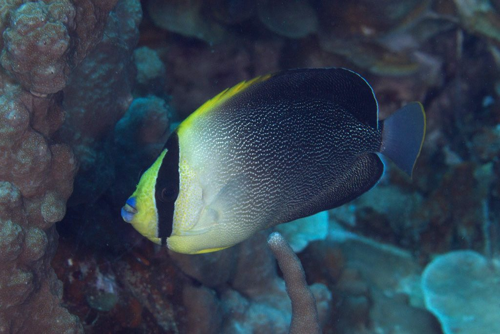 singapore angelfish