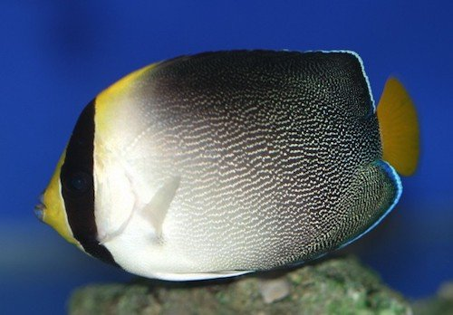 singapore angelfish 2