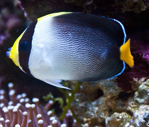 singapore angelfish 3