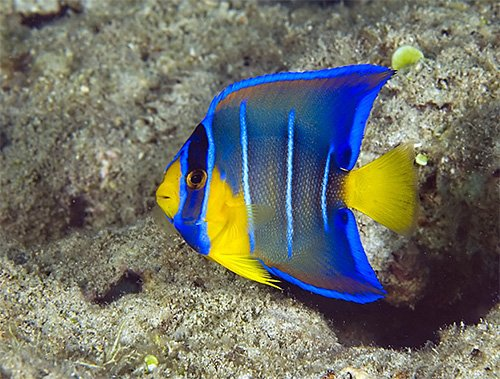 blue angelfish juvenile