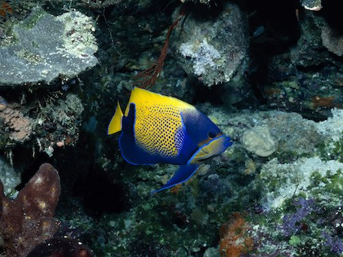 blue girdled angelfish 1