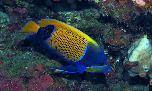 blue girdled angelfish 2