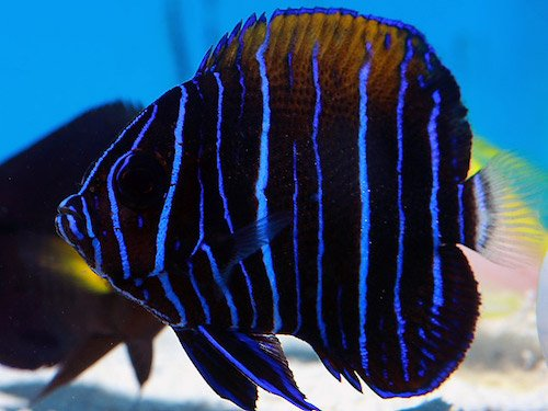 blue girdled angelfish juvenile