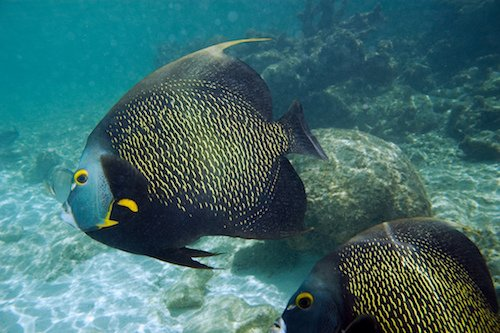 french angelfish 1