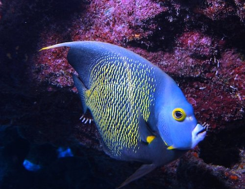 french angelfish 2