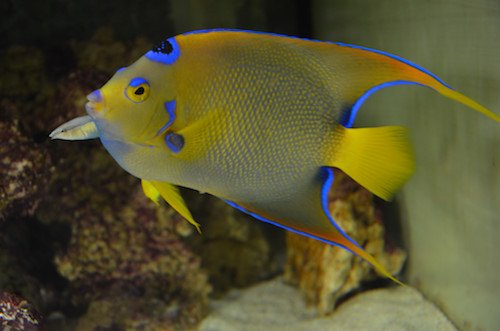 queen angelfish 3