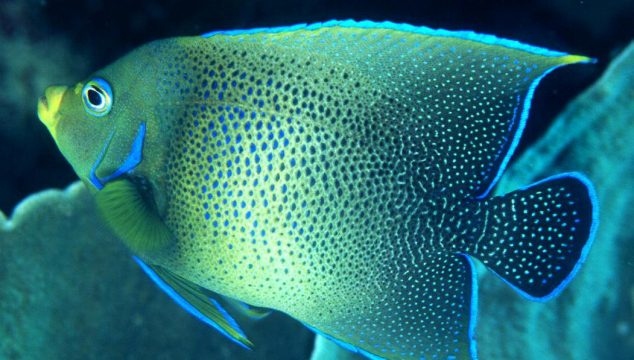 koran angelfish