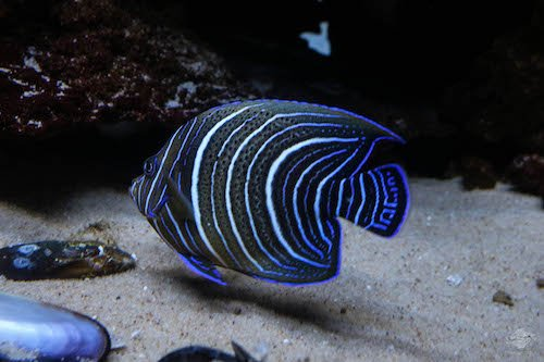 koran angelfish juvenile