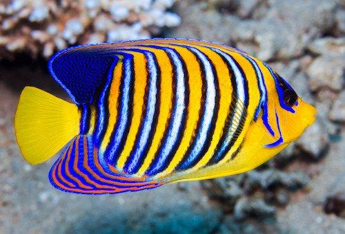 regal angelfish 1