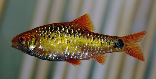 gold barb 2