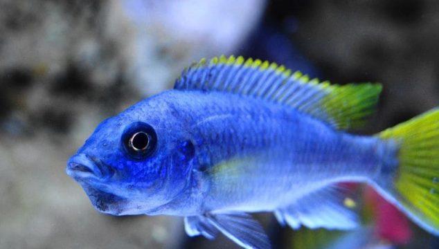 Acei Cichlid Fish