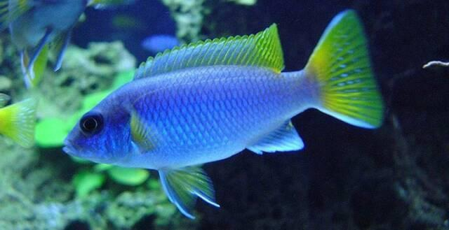 Yellow Tail Acei African Cichlid
